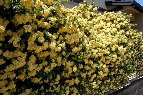 路傍の花、樹々の鳥(209) ~ バラの季節始まる ~_b0102572_13465977.jpg