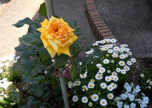 路傍の花、樹々の鳥(211) ~ La Vie En Rose ~_b0102572_18205423.jpg