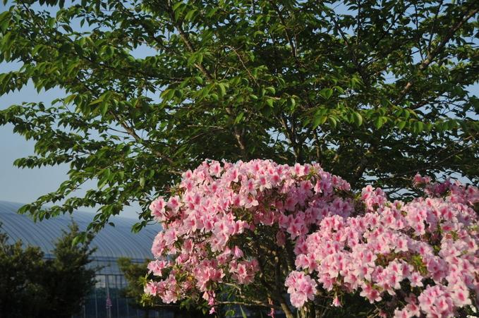 上千野観光体験果樹園(串間いちご畑) 180421 005_a0043276_21103535.jpg