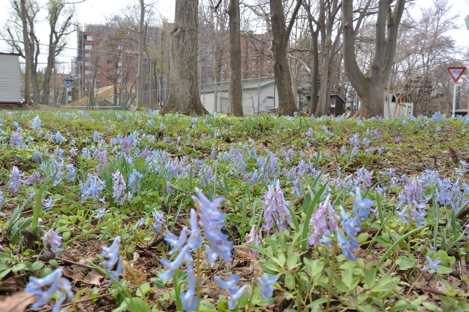 """2018年4月 『北大の春の妖精たち』 April 2018 \""""Spring Fairies in the Campus\""""_c0219616_13591635.jpg"""