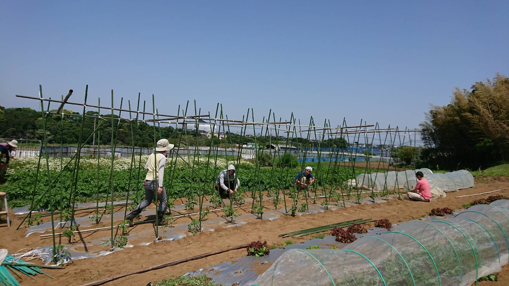 トマトの櫓建てと後発のトマトの定植_c0222448_12210660.jpg