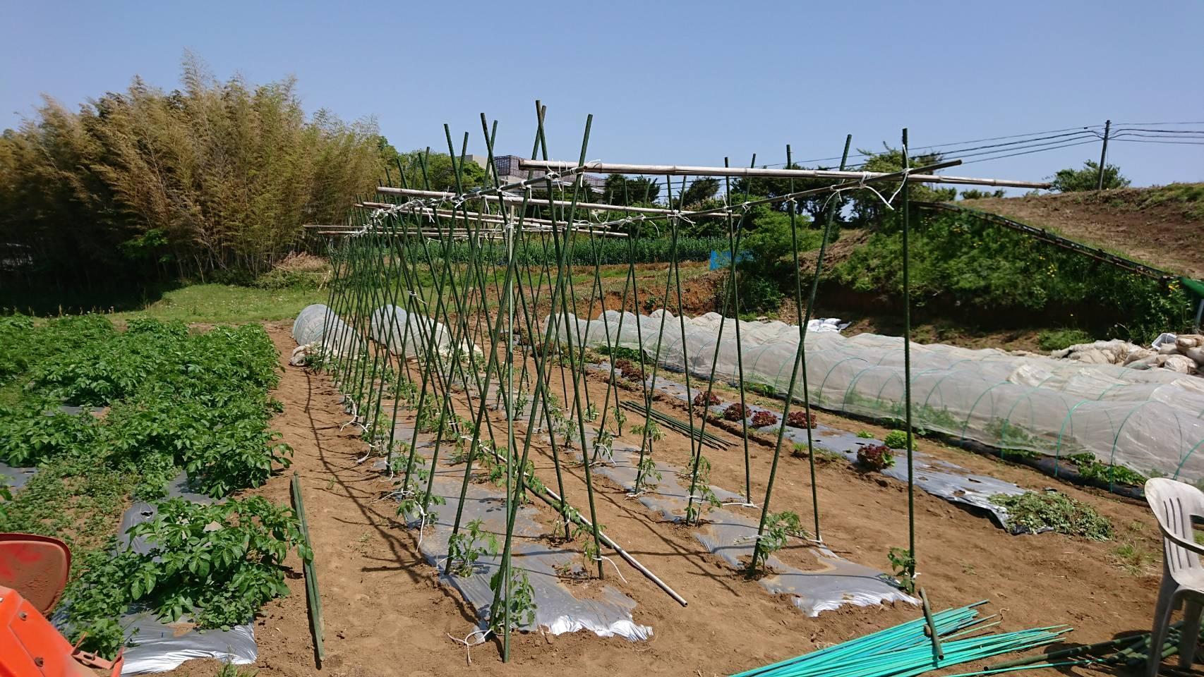 トマトの櫓建てと後発のトマトの定植_c0222448_12234643.jpg
