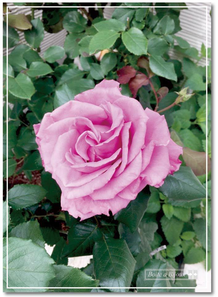庭のバラたち_d0286255_19103186.jpg