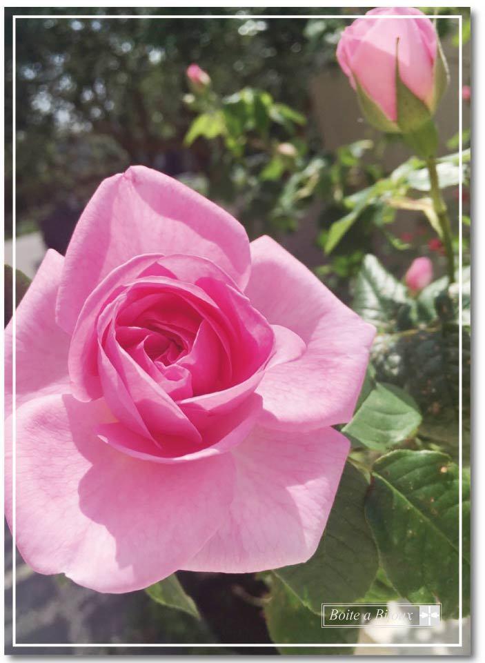 庭のバラたち_d0286255_19103327.jpg