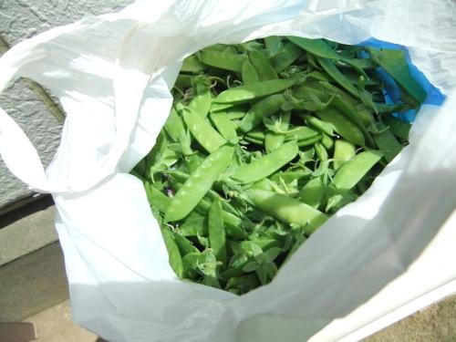 豆の大収穫祭....._b0137932_10110316.jpg