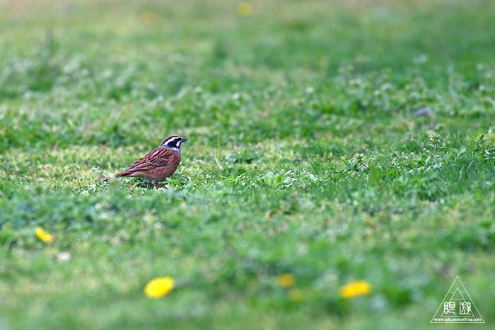 706 美保関 ~春の小鳥と繁殖期のキジ~_c0211532_15383706.jpg
