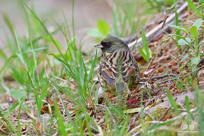 706 美保関 ~春の小鳥と繁殖期のキジ~_c0211532_15441930.jpg