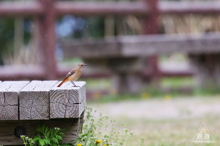 706 美保関 ~春の小鳥と繁殖期のキジ~_c0211532_15441933.jpg