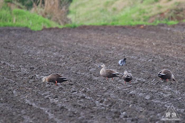 706 美保関 ~春の小鳥と繁殖期のキジ~_c0211532_23444139.jpg