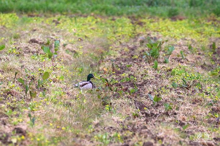 706 美保関 ~春の小鳥と繁殖期のキジ~_c0211532_23444185.jpg