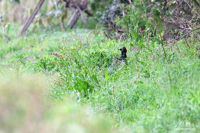 706 美保関 ~春の小鳥と繁殖期のキジ~_c0211532_23444214.jpg