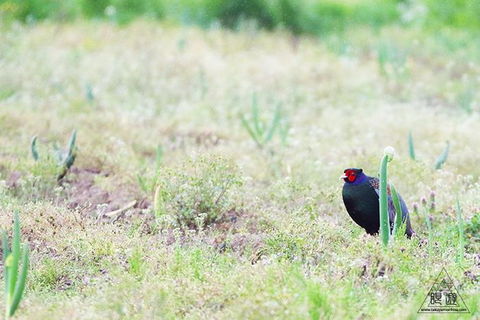 706 美保関 ~春の小鳥と繁殖期のキジ~_c0211532_23444249.jpg