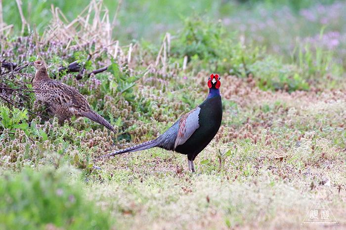 706 美保関 ~春の小鳥と繁殖期のキジ~_c0211532_23444286.jpg