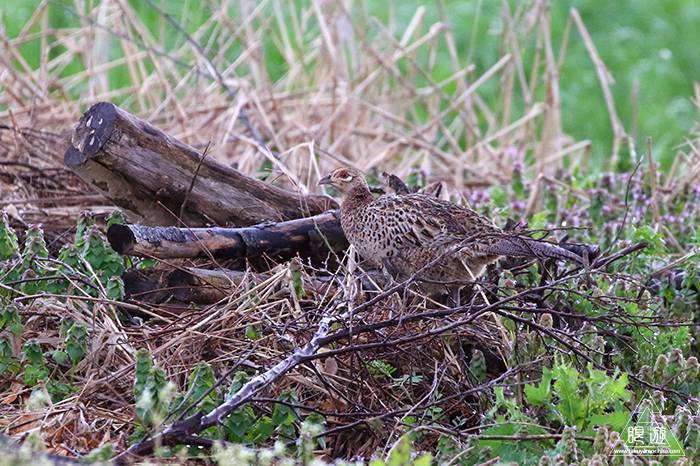 706 美保関 ~春の小鳥と繁殖期のキジ~_c0211532_23444325.jpg