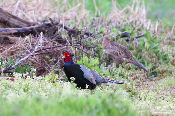 706 美保関 ~春の小鳥と繁殖期のキジ~_c0211532_23444358.jpg