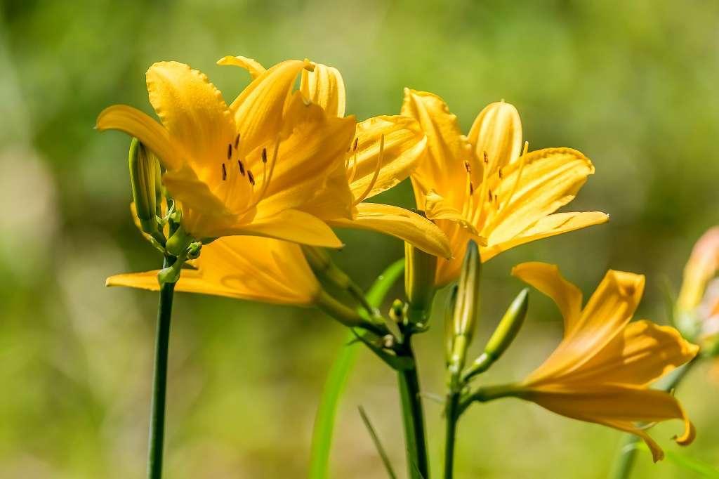 ムサシノキスゲが咲いていました_f0044056_15113544.jpg