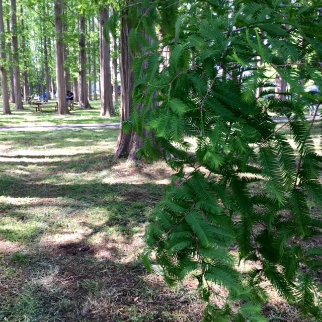 picnic メタセコイアの森の中で♪_a0165160_13262532.jpg