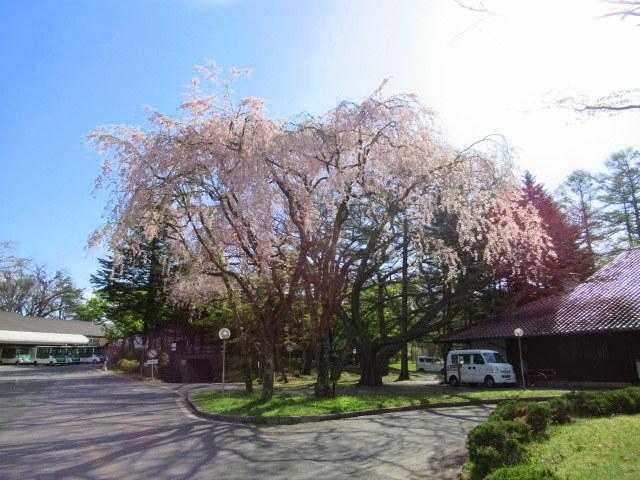 4月30日の桜と新緑*軽井沢の桜もいよいよ見納めです。_f0236260_09464818.jpg
