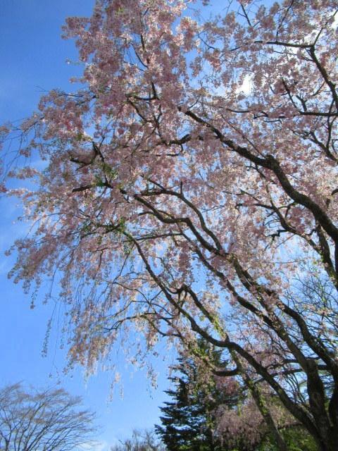 4月30日の桜と新緑*軽井沢の桜もいよいよ見納めです。_f0236260_09465747.jpg