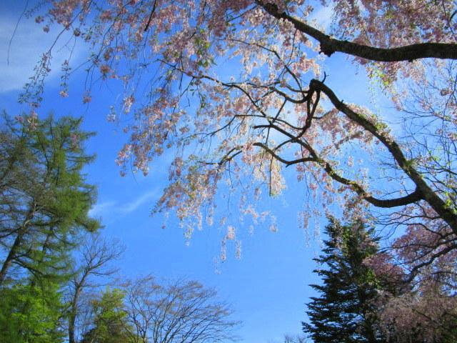4月30日の桜と新緑*軽井沢の桜もいよいよ見納めです。_f0236260_09470603.jpg