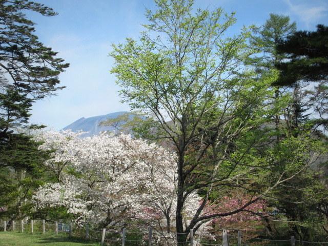 4月30日の桜と新緑*軽井沢の桜もいよいよ見納めです。_f0236260_09472071.jpg