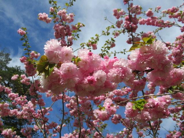 4月30日の桜と新緑*軽井沢の桜もいよいよ見納めです。_f0236260_09473841.jpg