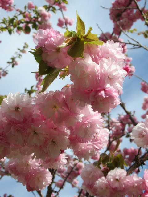 4月30日の桜と新緑*軽井沢の桜もいよいよ見納めです。_f0236260_09474927.jpg