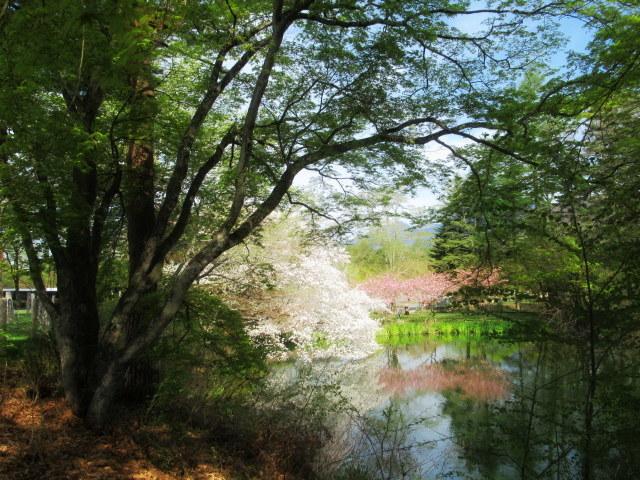 4月30日の桜と新緑*軽井沢の桜もいよいよ見納めです。_f0236260_09483222.jpg
