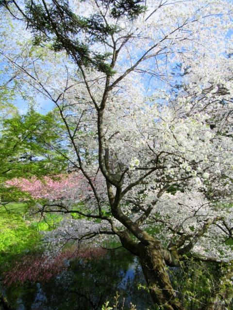 4月30日の桜と新緑*軽井沢の桜もいよいよ見納めです。_f0236260_09490621.jpg