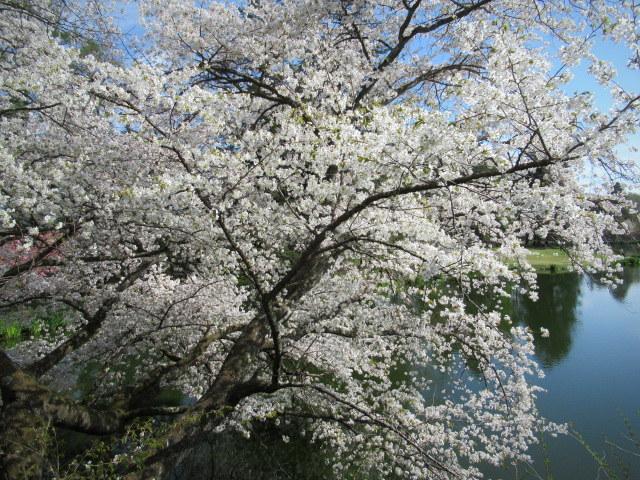 4月30日の桜と新緑*軽井沢の桜もいよいよ見納めです。_f0236260_09495314.jpg