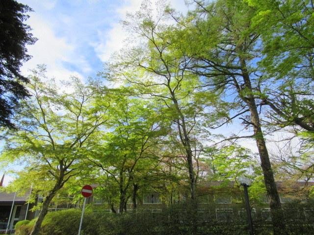 4月30日の桜と新緑*軽井沢の桜もいよいよ見納めです。_f0236260_09503089.jpg