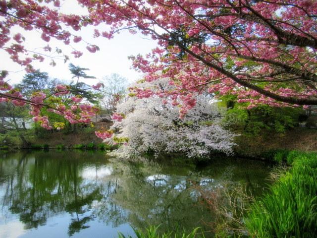 4月30日の桜と新緑*軽井沢の桜もいよいよ見納めです。_f0236260_09542501.jpg