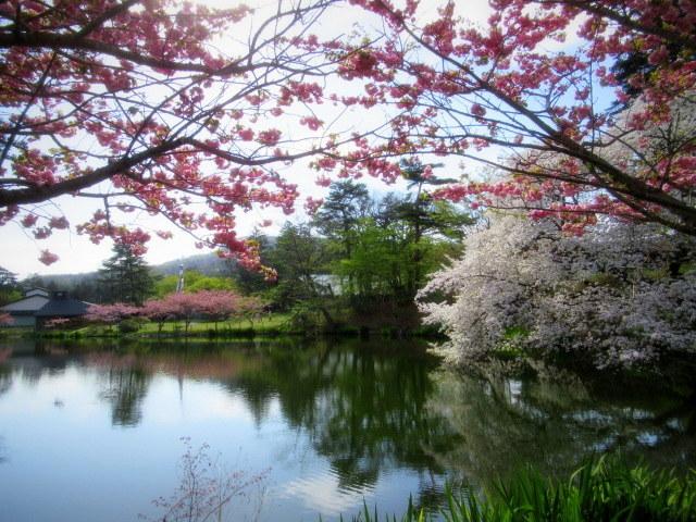 4月30日の桜と新緑*軽井沢の桜もいよいよ見納めです。_f0236260_09544884.jpg