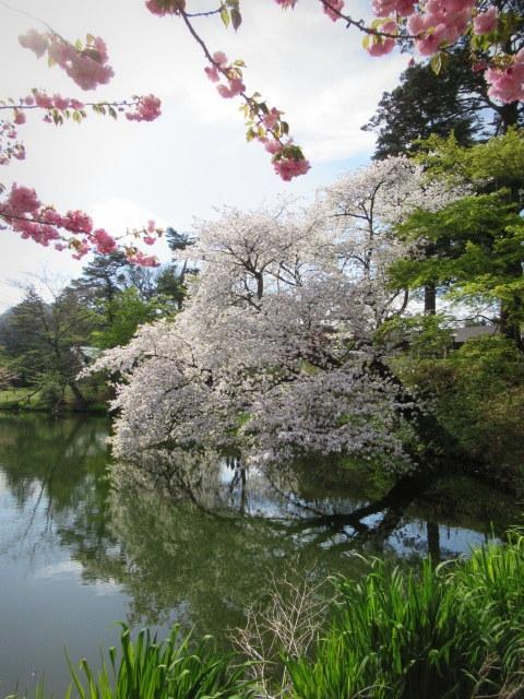 4月30日の桜と新緑*軽井沢の桜もいよいよ見納めです。_f0236260_09551811.jpg