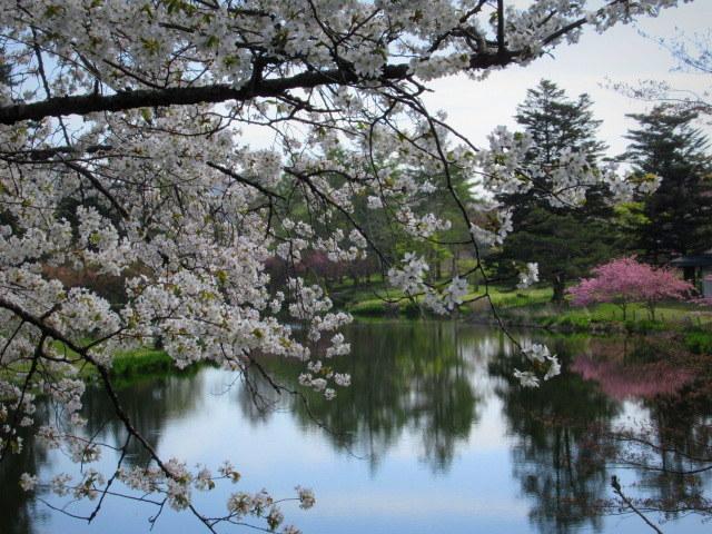 4月30日の桜と新緑*軽井沢の桜もいよいよ見納めです。_f0236260_09563703.jpg