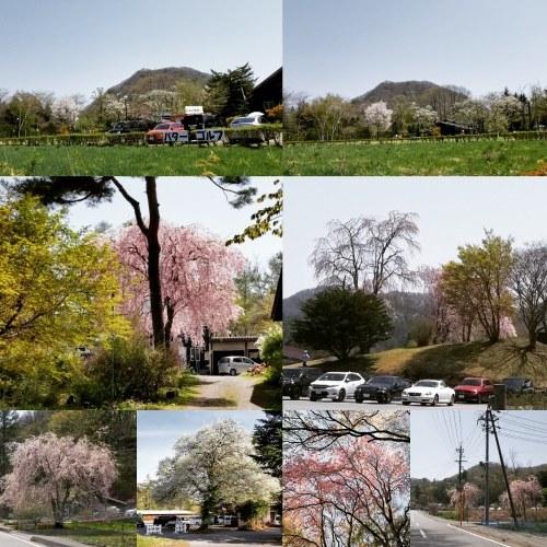 4月30日の桜と新緑*軽井沢の桜もいよいよ見納めです。_f0236260_10021781.jpg