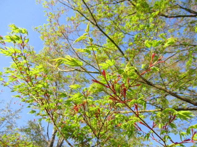 4月30日の桜と新緑*軽井沢の桜もいよいよ見納めです。_f0236260_11481629.jpg