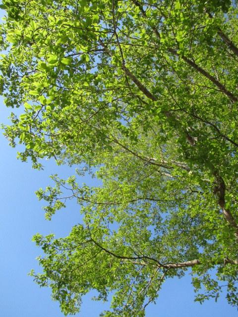 4月30日の桜と新緑*軽井沢の桜もいよいよ見納めです。_f0236260_11494584.jpg