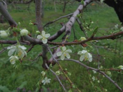 リンゴの花満開_e0019167_08521354.jpg