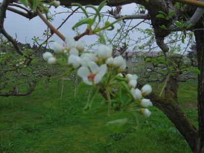 リンゴの花満開_e0019167_09081776.jpg