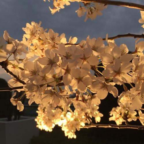 に組東芝 囃子方のお花見は恒例のさくらゼロ_a0134394_09535459.jpeg
