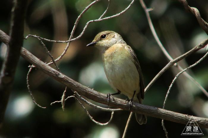 575 美保関 ~春の小鳥たち~_c0211532_10433421.jpg