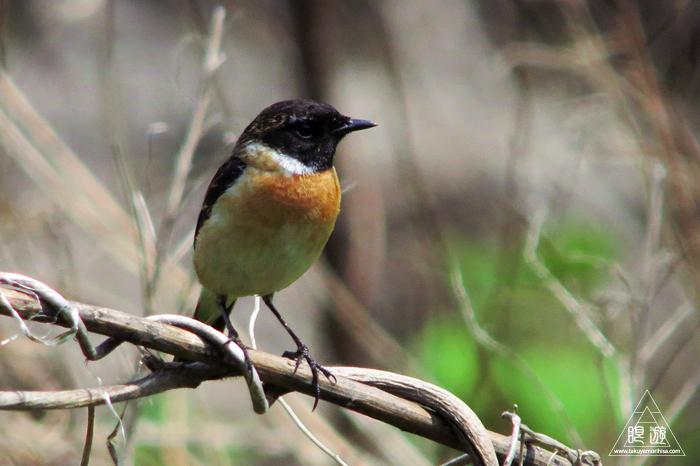 575 美保関 ~春の小鳥たち~_c0211532_10474577.jpg