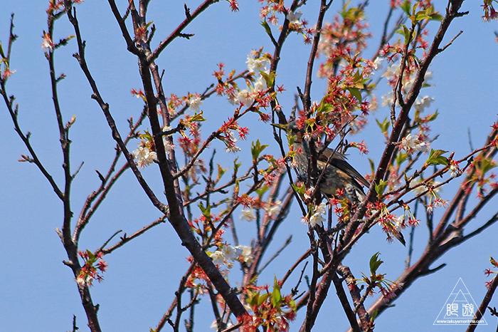 575 美保関 ~春の小鳥たち~_c0211532_10502912.jpg