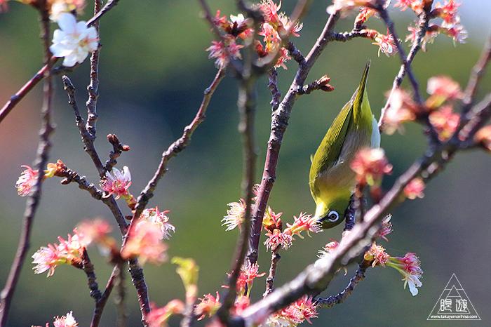 575 美保関 ~春の小鳥たち~_c0211532_10540384.jpg