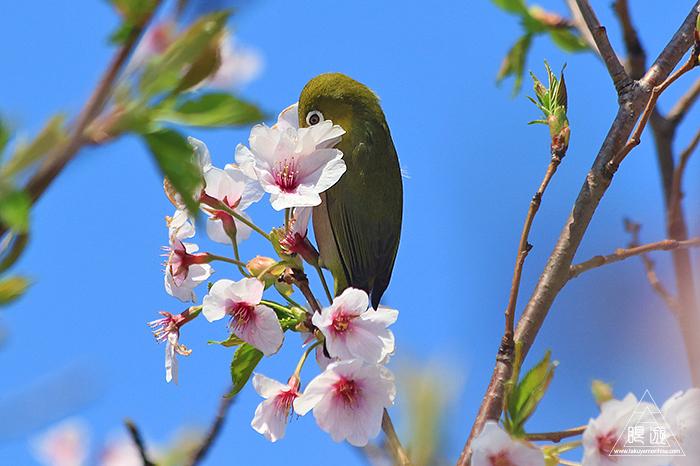 575 美保関 ~春の小鳥たち~_c0211532_10540460.jpg