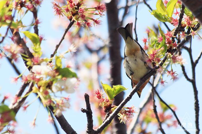 575 美保関 ~春の小鳥たち~_c0211532_10592835.jpg