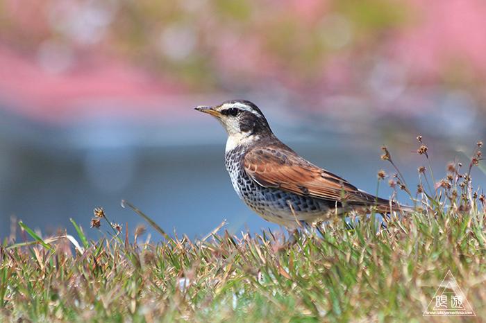 575 美保関 ~春の小鳥たち~_c0211532_11002836.jpg