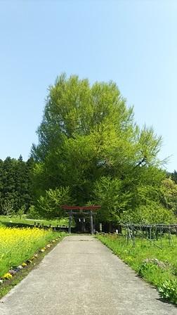 GW前半 長野県への犬連れ車中泊の旅 神戸の大銀杏編_b0080342_17583293.jpg