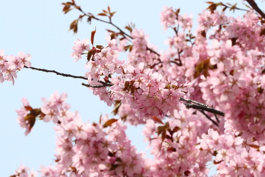 札幌の公園の桜 と 地元のカワセミ_c0360399_21184291.jpg